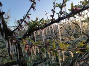 Maltempo, Coldiretti Lazio: gelo danneggia fino al 50% di frutta e verdura. Grave la situazione a Tarquinia e Montalto