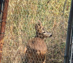 Era rimasto intrappolato in un terreno privato: capriolo salvato a Civitavecchia