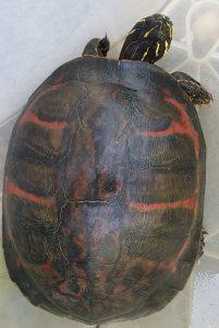 Torre Flavia, allarme tartarughe 'aliene': in un anno ne sono state catturate 130