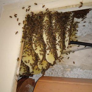 """Cerveteri: avvolgibile della serranda """"invaso"""" dalle api, intervento degli agenti del Nubi"""